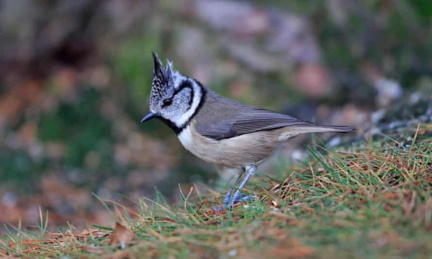 Crested tit on the ground in Scotland