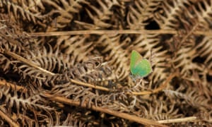 An early green hairstreak butterfly takes advantage of warmth after cold weather.