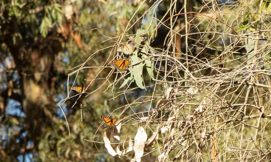 The decline in monarch butterflies is evident in Santa Cruz's preserve at Natural Bridges State Beach.