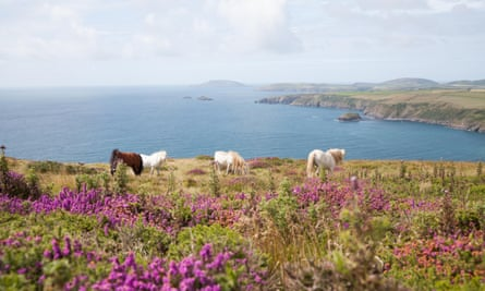 Wild ponies grazing on the cliff top at Penarfynydd, Rhiw with Ynys Enlli, Bardsey Island in background
