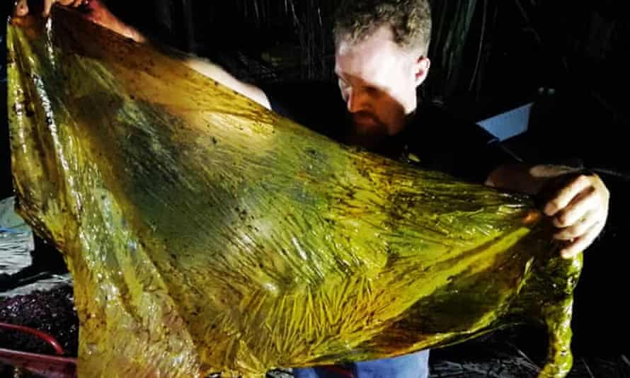 Darrell Blatchley pulling plastic out of the juvenile male Cuvier's beaked whale.