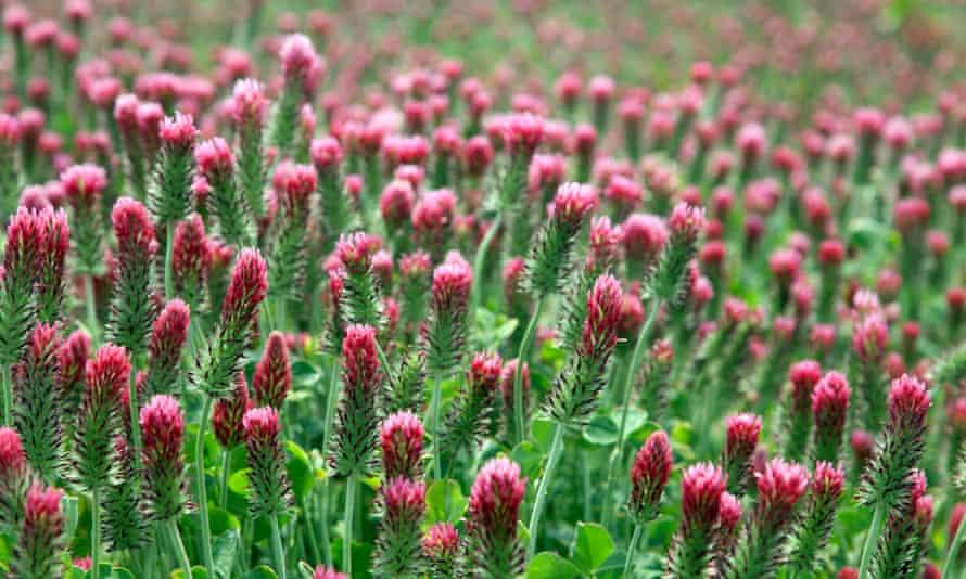 Red clover is good for dry, light soil.