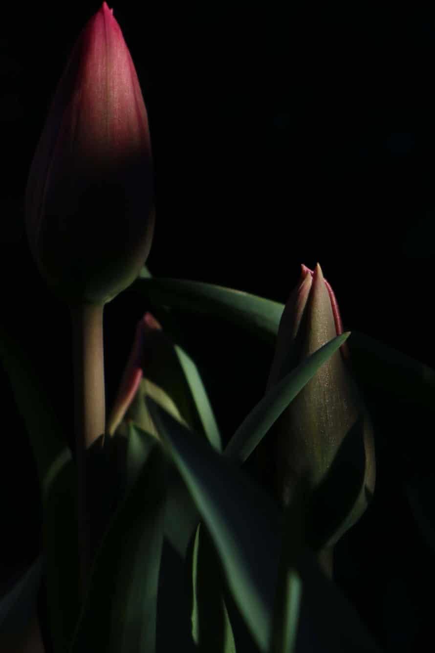 Christmas Dream tulip