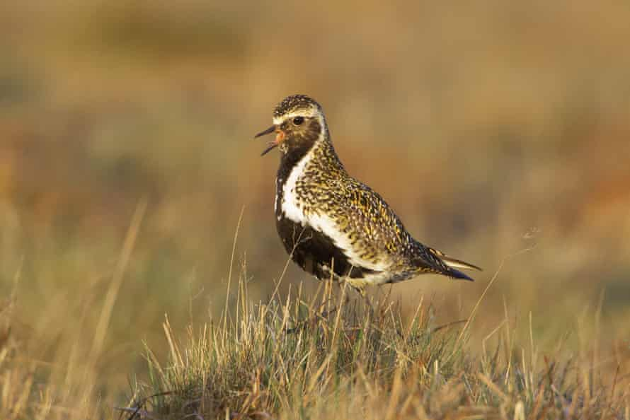 While golden plover hatchlings are well adapted to blend in with their surroundings on the bog, this adult is doing his best to sing loudly and be noticed.