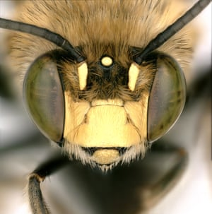 The native California digger bee's fuzzy fur (Anthophora californica) allows pollen to stick to its body