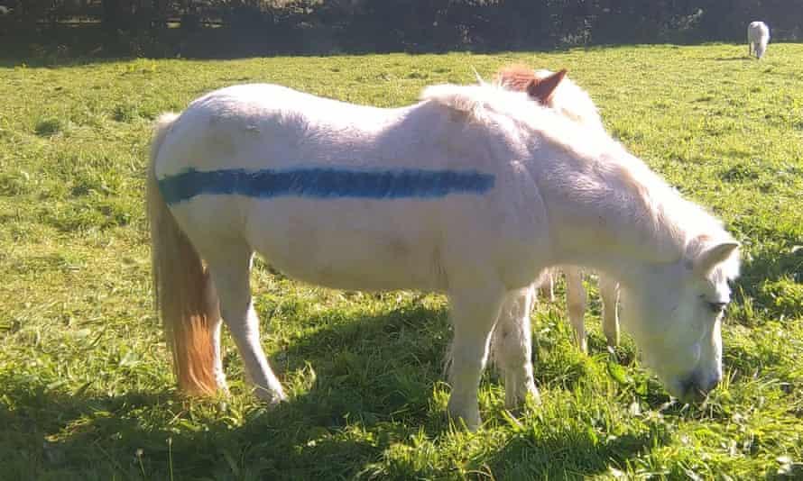 Ponies on Dartmoor with reflective paint