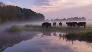 Cows at Fen Farm in Suffolk.