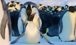 Emperor penguins featured in episode two of Dynasties.