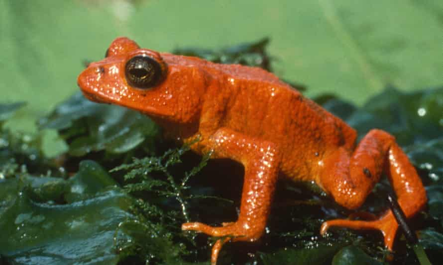 The golden toad of Costa Rica, which is now considered to be extinct.