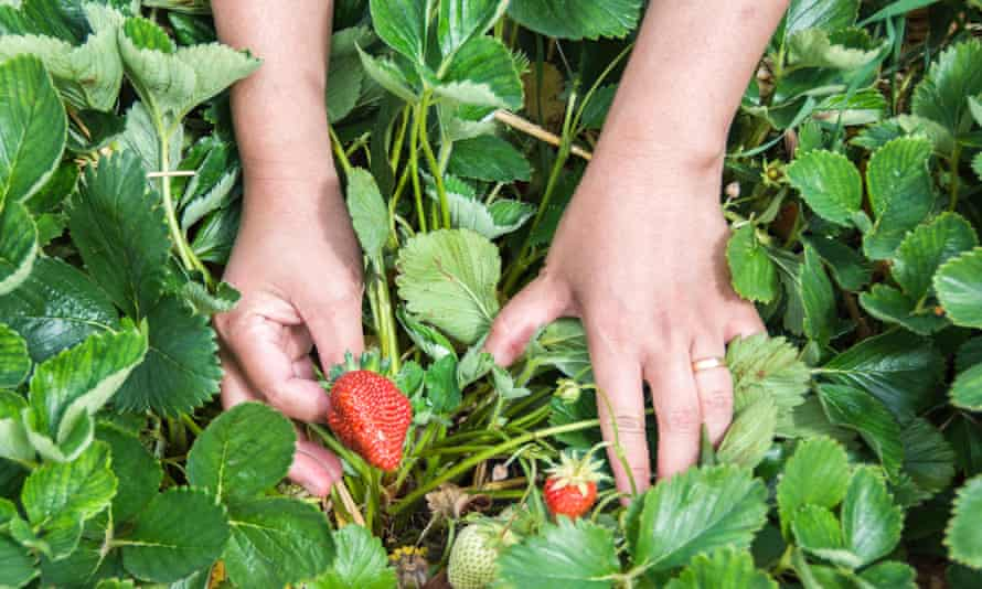 Pick-your-own summer strawberries