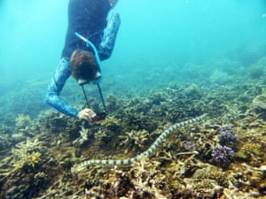 A close encounters between one of the grandmothers and the greater sea snakes in Baie des Citrons in Noumea.