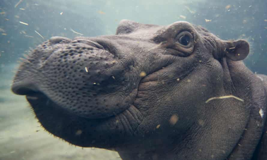 Fiona, a Nile hippopotamus, plays in her enclosure at the Cincinnati zoo and botanical garden.