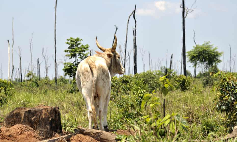 Vast areas of the Amazon rainforest are being burned and cleared for grazing cattle.
