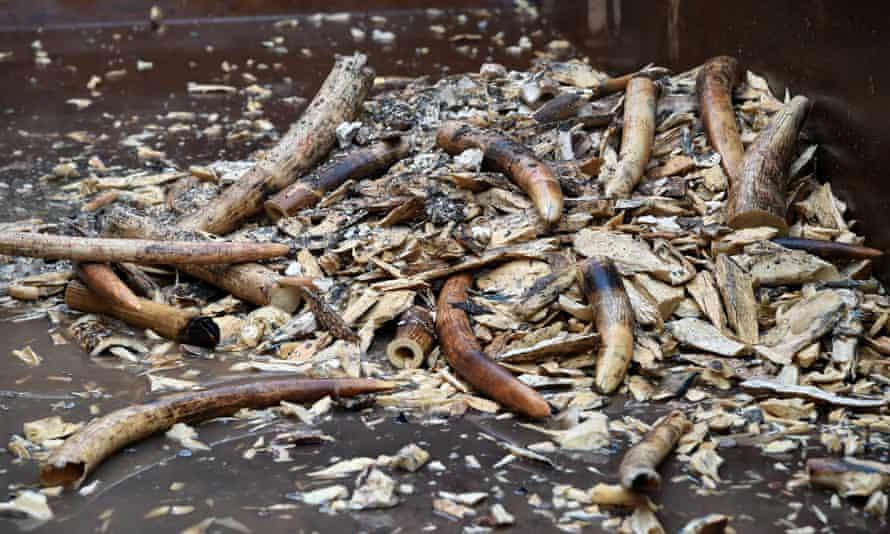 今年 6月13日,新加坡销毁了7.9吨象牙. 这些非法象牙在2014年和2015年缴获,价值约960万美元.