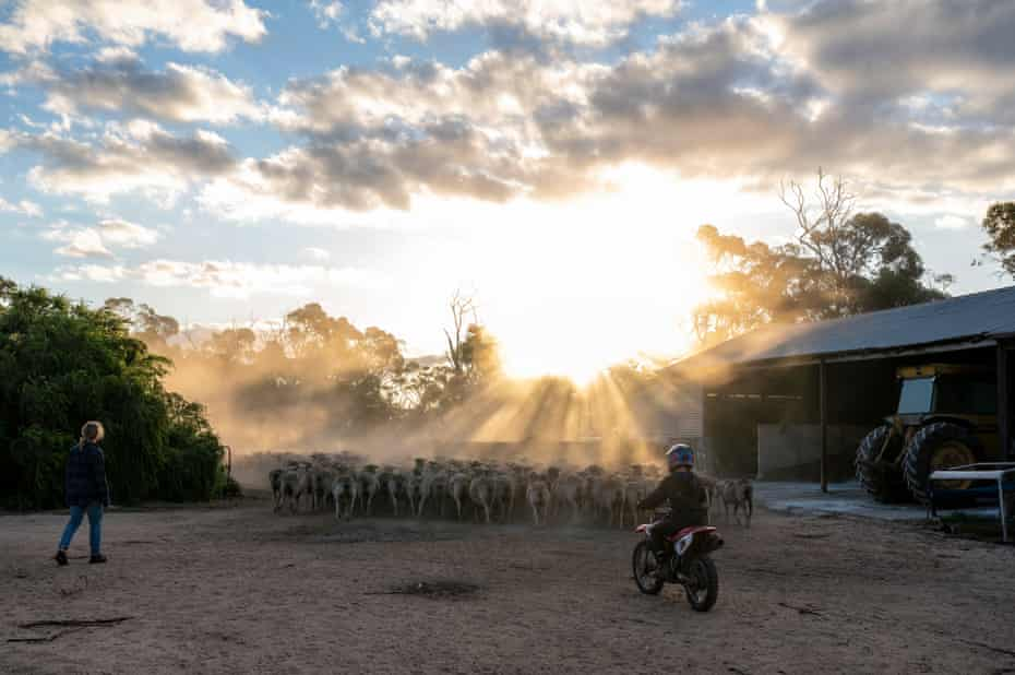 Simon Wallwork and Cindy Stevens' son Archie brings in the sheep on their 3600 Hectare Farm in Corrigin