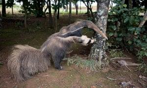 Stuffed anteater