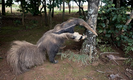 A taxidermy anteater kept at one of the entrances of Emas national park, where Cabral's award-winning photo was taken.