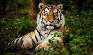 Tiger, lying down, in a forest