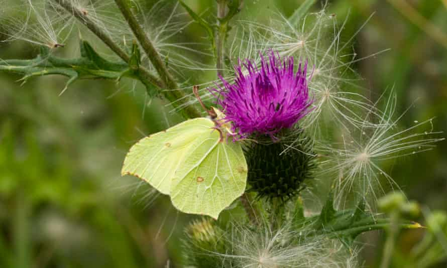 Brimstone butterfly feeding on a thistle flower at Ouse Fen, Cambridgeshire.