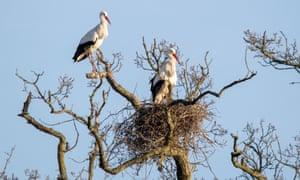 Storks on the Knepp Castle estate