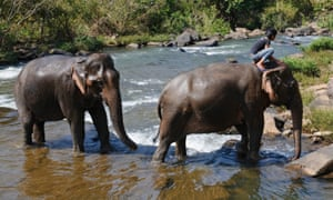 Elephants crossing a river in Laos. Dozens of their relatives are believed to have been illegally sold to China.