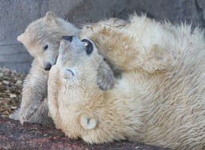 Hanover, Germany: a polar bear cub plays with its mother in their enclosure at the city's zoo