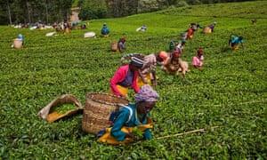 A tea picker picking tea leaves on a plantation in Kericho.