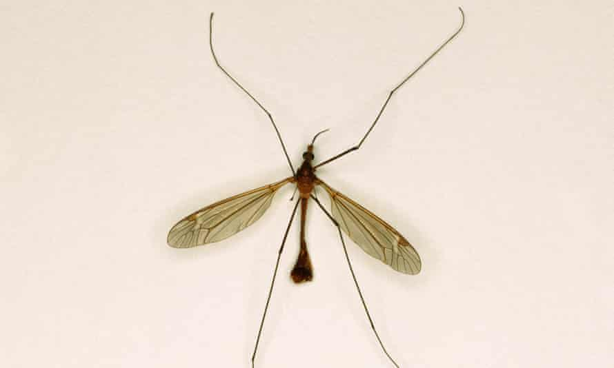 Local conditions have caused an abundance in some areas but there are probably not more crane flies than last year