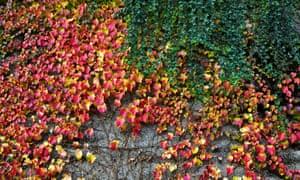 Boston ivy (Parthenocissus tricuspidata) and English ivy (Hedera helix).