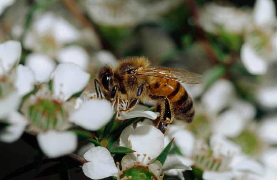 A  bee collects nectar from a Mānuka flower blossom