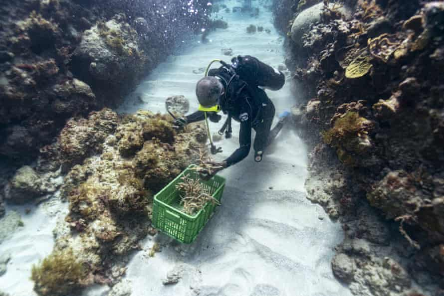 Simpson grabs a handful of staghorn, harvested from a coral nursery, to be planted inside the the sanctuary
