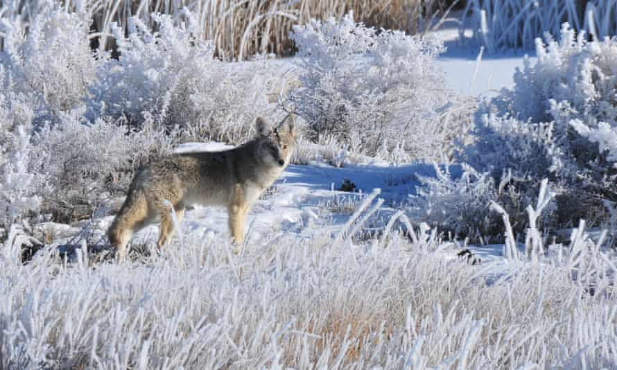 Coyote stands in the frost in the Seedskadee national wildlife refuge in Wyoming.