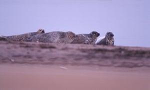 Grey seals at Tentsmuir