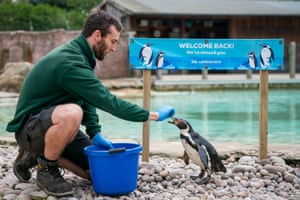 A keeper feeds a penguin ahead of the reopening of London Zoo in Regent's Park, London.