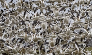 Snow geese take to the air at Garry Point Park, in Richmond, British Columbia