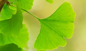 Ginkgo biloba, the only existing species of an ancient group of seed plants
