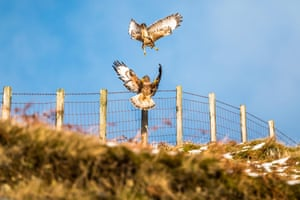 A pair of buzzards in the Selkirk hills near Megget in the Scottish Borders.