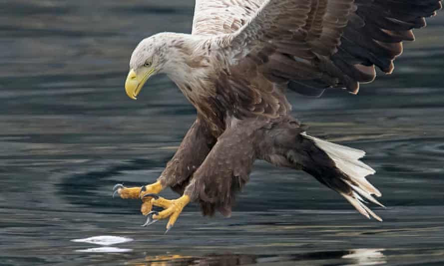 A white-tailed eagle swoops for a fish
