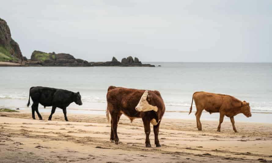 Cattle walking on sandy beach with calm sea and distant craggy coastline