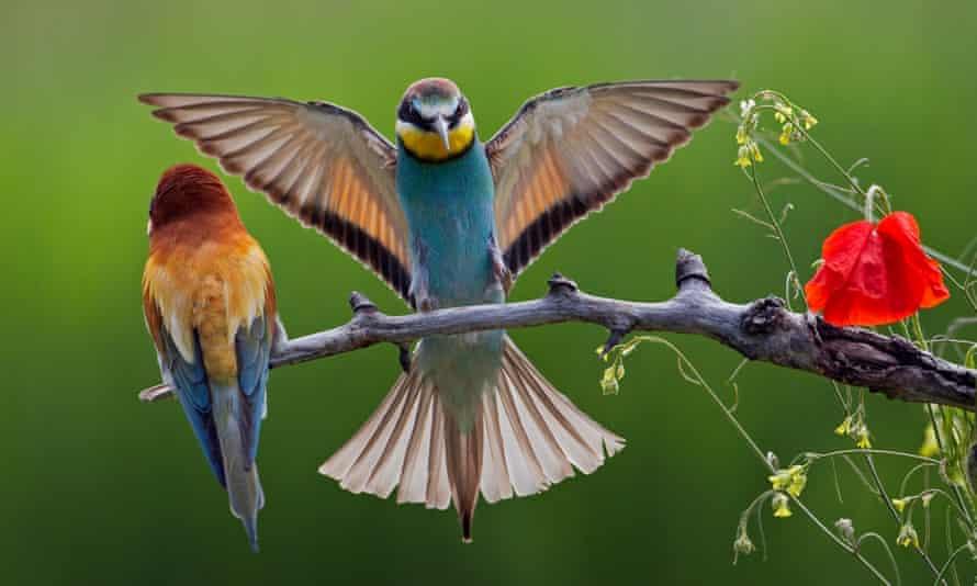 Pair of European Bee-eaters.