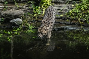 A fishing cat (Prionailurus viverrinus) in its enclosure at Gembira Loka zoo in Yogyakarta, Indonesia, which is closed to the public to curb the spread of the coronavirus. According to the Indonesian Zoological Association, tens of thousands of zoo animals across Indonesia are at risk of food shortage due to a lack of revenue during the pandemic. Zoos may be allowed to feed herbivores to carnivores, as long as they are not rare or endangered species.