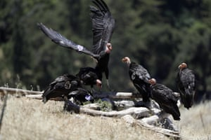 California condors huddle around a watering hole in the Ventana wilderness east of Big Sur, California