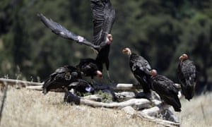 California condors huddle around a watering hole.