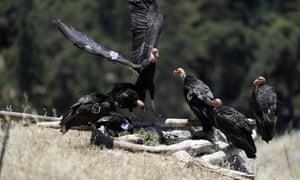 California condors huddle around a watering hole.
