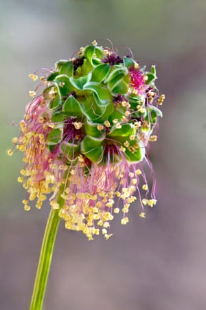 Salad Burnet Flower by Ian Gilmour, West Yorkshire, United Kingdom