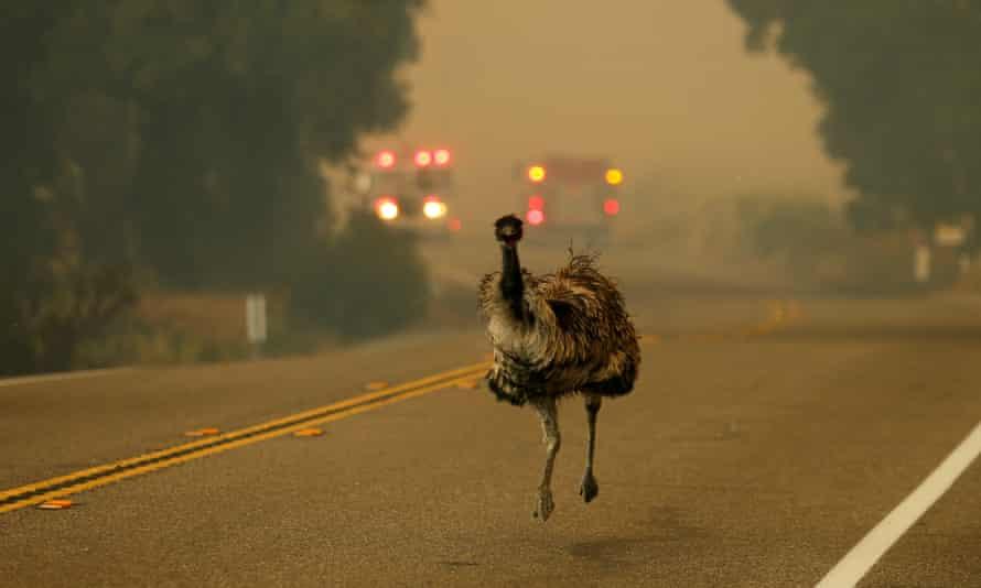 An emu runs to escape an approaching wildfire as it burns near Potrero, California.