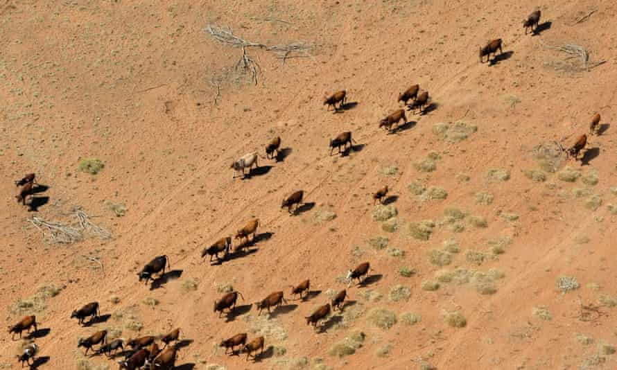 Cattle walking near a dry river bed