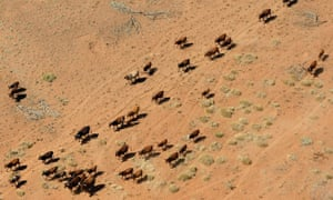 Cattle walking near a dry river bed on a farm near Port Hedland
