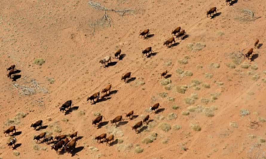 Cattle walking near a dry river bed on a farm near Port Hedland