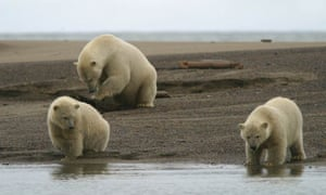 Polar bears are listed as 'threatened' under the US Endangered Species Act.